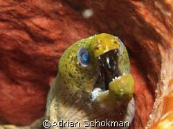 Moray Eel inside Sponge Coral. Taken at Redang Island wit... by Adrian Schokman