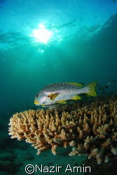 Diagonal Banded Sweetlips, Taken with NIKON D80, NIKKOR 1... by Nazir Amin