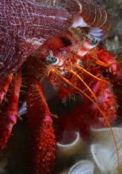 Striated hermit crab (Dardanus arrosor) - Corsica by Jim Garland