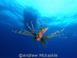 lion fish, Nikon D1 with SeaCam Housing by Andrew Mckaskle