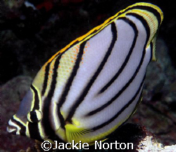 I love the markings of this butterfly fish. by Jackie Norton