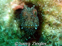 Hallo - Smile With Me ! My name is Blenny ...  Mabul, M... by Juerg Ziegler
