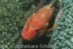 Grouper in position for a clean up by Barbara Schilling
