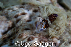 Exploring a sea cocumber: a Gnathophyllum elegans is appe... by Ugo Gaggeri