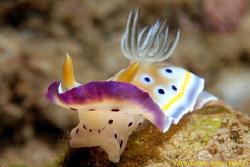 Nudibranch, Chromodoris geminus. Picture taken off Negomb... by Anouk Houben