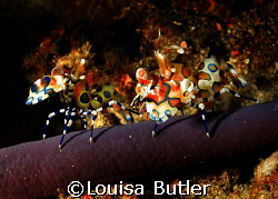 Two Harlequin Shrimps on a Purple Starfish.  Richeliou Ro... by Louisa Butler