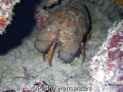 Spanish lobster,Humacao,Puerto Rico by Pedro Hernandez