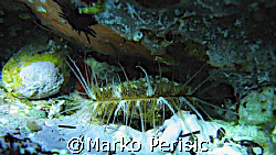 I think this this shellfish might be a Haliotis lamellosa... by Marko Perisic