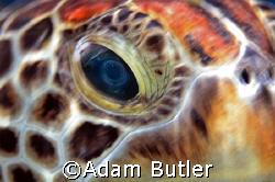 Greenback turtle at Richeliou Rock Thailand. Canon 5D by Adam Butler