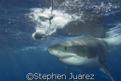 Yummie Yummie /Great White Shark Guadalupe Island  by Stephen Juarez