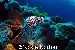 Honeycombe Moray defending his home.  by Jackie Norton