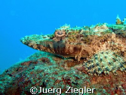 "Crocodile Fish on the ""look out"" ...