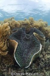 Giant clam. Lowe island's. D200, 10.5mm. by Derek Haslam