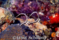 TWINS , Baby Spotted Drum on Bonaire by Ernst Schilling