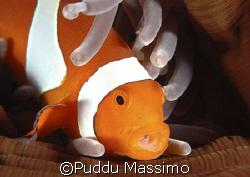 clownfish,maldives,nikon d70s 105mm macro by Puddu Massimo