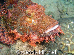 Scorpion fish on bottom, Puerto Galera by Wendy Mitchell