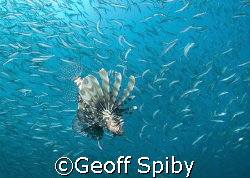 Taken at Ponta do Ouro in Mozambique-Lionfish hovering ar... by Geoff Spiby