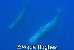 Two sperm whales, one inverted, in open Atlantic off the ... by Wade Hughes