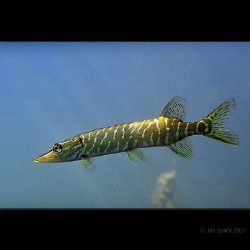 A small jack (pike), cold fresh water, a shot was taken c... by Jan Spacil