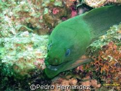 Green Moray,Parguera, Puerto Rico by Pedro Hernandez
