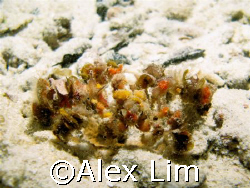 Can you see me? Decorator crab, on a night dive. G7 with ... by Alex Lim