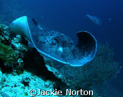 This Stingray was definitely on his way to somewhere. by Jackie Norton