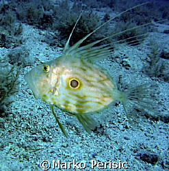 Saint Peter's fish/John Dory Brac Croatia. by Marko Perisic
