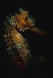 this male seahorse was about ready to give birth to the y... by Andrew Woodburn