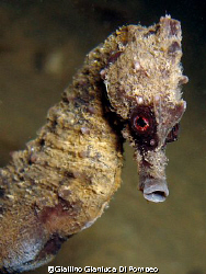 Hippocampus hippocampus. Photo taken in Numana with a dig... by Giallino Gianluca Di Pompeo