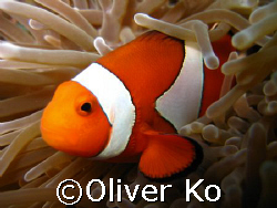 nemo up close.  canon ixus 70. no strobe by Oliver Ko