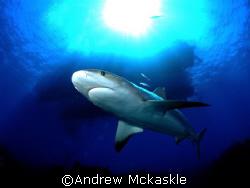 Who's eyeballing who / caribbean reef shark by Andrew Mckaskle