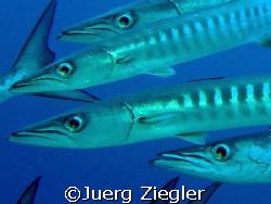 Black Fin Barracuda's very close!  Barracuda Point, Sip... by Juerg Ziegler