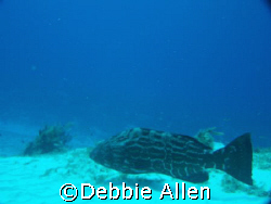 This grouper was swimming along the bottom in Cozumel.  by Debbie Allen