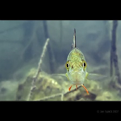 Fresh water, a small bass (perch?) again, in the front vi... by Jan Spacil