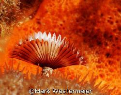 Orange on Orange - Taken with a Nikon D100, Aquatica hous... by Mark Westermeier