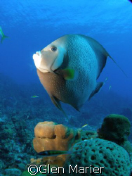 Angel Fish - Grand Cayman - Sunset Divers shore dive - wi... by Glen Marier
