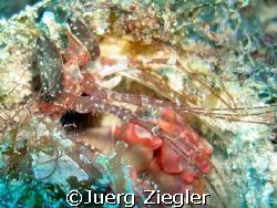 Giant Mantis Shrimp  Mataking - Sabah - Borneo - Malaysia by Juerg Ziegler