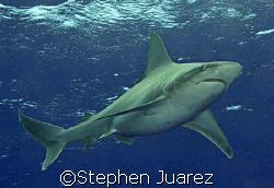 Sandbar Shark North Shore Oahu by Stephen Juarez