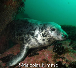 Another seal  from the Isles of Scilly  by Malcolm Nimmo