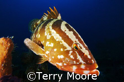 Loretta the friendly Nassau Grouper poses for a shot by Terry Moore