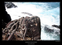 Galapagos sea iguanas baking in the sun by Stewart Smith