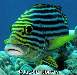 Photogenic Sweetlips  by Jackie Norton