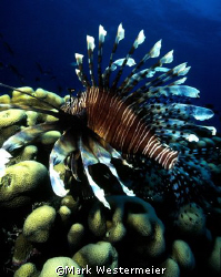 Lionfish - Taken in the Northern Fiji islands with a Niko... by Mark Westermeier
