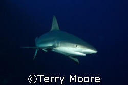A Caribbean Whaler swims in close to have a look at me by Terry Moore