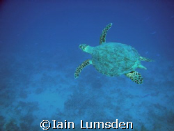 Turtle in the blue by Iain Lumsden