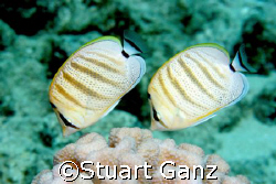 A pair of pebbled butterflyfish. Taken with my 20D and 60... by Stuart Ganz