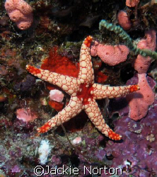 Brighty coloured starfish in the Indian ocean by Jackie Norton