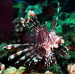 Lion fish living on the wreck of the Ann. by Marylin Batt