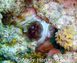 Octopus hiding in the rock. Panorama reef, Safaga, Egypt. by Andy Hamnett