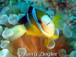 Smiling Clownfish  Kapalai - Borneo - Sabah - Malaysia by Juerg Ziegler